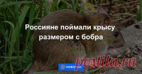 Россияне из поселка Эммаус в Тверской области поймали в своем доме крысу-гиганта размером с бобра. Об этом сообщает ГТРК Тверь.
