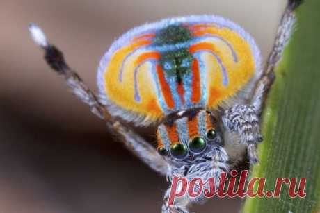 В Южной Австралии обнаружен новый вид паука-павлина Обнаруженный в Южной Австралии новый вид паука-павлина рода Maratus решили назвать Немо в честь рыбки-клоуна – главного героя мультфильма «В поисках Немо», пишет британский таблоид The Daily Mail.Отмечается, что крошечный паук по своим размерам едва ли превосходит рисовое зернышко. Свое...