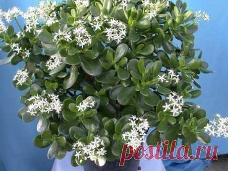 ОБАЛДЕТЬ !!! ВОТ ТАК ОНО ЦВЕТЁТ! Денежное дерево! Всем, у кого побывало в ленте, принесёт достаток и удачу!  ТОЛСТЯНКА (ДЕНЕЖНОЕ ДЕРЕВО): ЛЕЧЕБНЫЕ СВОЙСТВА И ПРОТИВОПОКАЗАНИЯ. Толстянка, или денежное дерево, — растение, которое есть дома практически у каждого. Одних она привлекает своим внешним видом, другие верят в то, что она способна привлечь деньги в дом.    Но не все знают, что толстянку можно также выращивать и с пользой для здоровья. Ее целебные качества помогут избавиться от множест