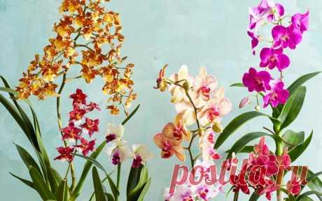 Мои орхидеи всегда имеют здоровый вид и обильно цветут: а все благодаря чесночной воде