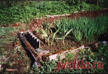 Черемша - агротехника выращивания из семян, болезни и вредители