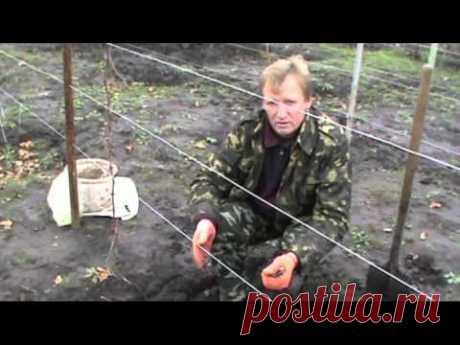 Обрезка и укрытие винограда первого года посадки