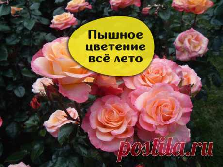 Супер подкормка для роз - касторовое масло. | Урожайная грядка ❀ | Яндекс Дзен