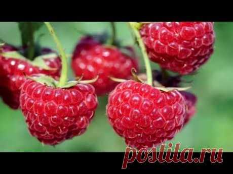 293.Правильный уход за малиной весной для большого урожая