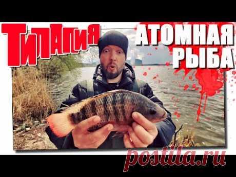 Тилапия! Ловля атомной рыбы