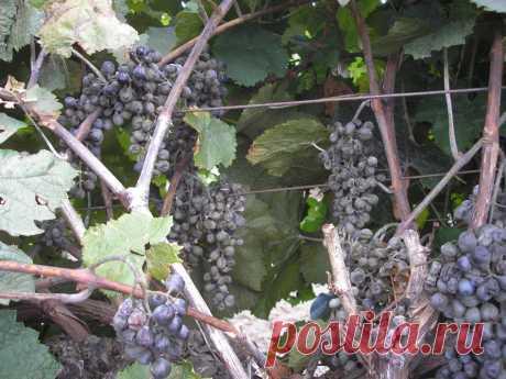 Болезнь винограда оидиум - одно из самых опасных заболеваний. Борьба  с ней должна начинаться с первых признаков появления инфекции.