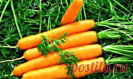 Марганцовка — лучшее средство для здоровой и крупной моркови. Секретный рецепт   Дачные секреты от Виктории Радзевской   Яндекс Дзен