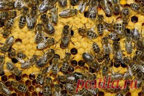 ¿Se cogen de donde las perlas, los huevos de gallina y todavía 7 respuestas asombrosas a la pregunta «Como esto ha aparecido?» Como las abejas hacen m±dkak se sabe, las abejas tienen una jerarquía precisa — dobytchiki obtienen el néctar, y los receptores lo tratan y hacen el Proceso médico de la recepción consiste de dos procesos claves: primero...