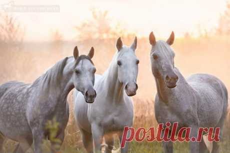 Арабские лошади. Автор фото: Анна Володичева.