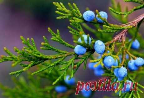 Можжевельник: лечебные свойства и противопоказания