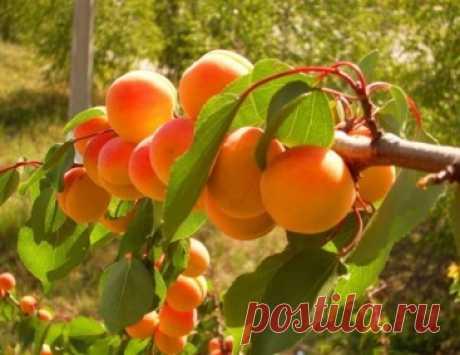 Как вырастить абрикос: тонкость, о которой не все знают
