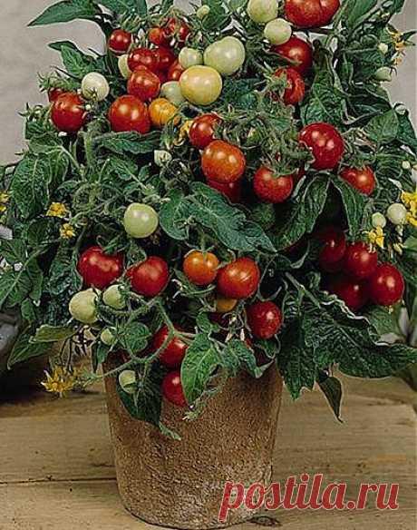Как вырастить помидоры на подоконнике | ДОМАШНЯЯ ЖИЗНЬ