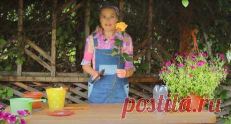 Укоренить любую розу! Самый простой способ как укоренить розу