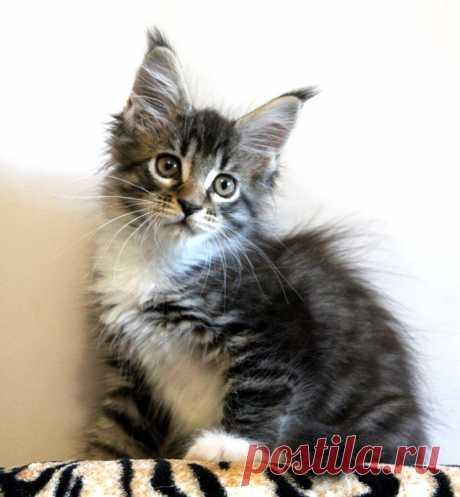 Кошечка мейн-кун ищет себе хозяина.