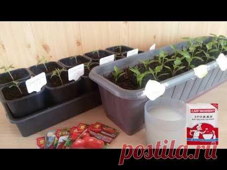 La fertilización de las plantas de los tomates después de la altercación por la levadura.