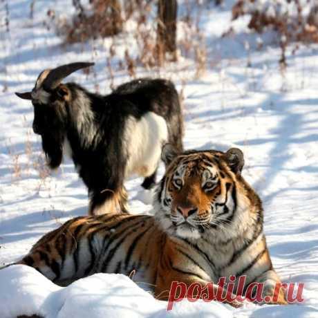 Тигр Амур и козел Тимур – дружба хищника и жертвы