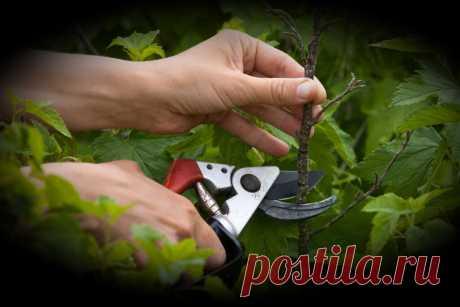 Заставляем плодоносить Куст Смородины, мой метод после которого было получено в 3 раза больше урожая   6 соток