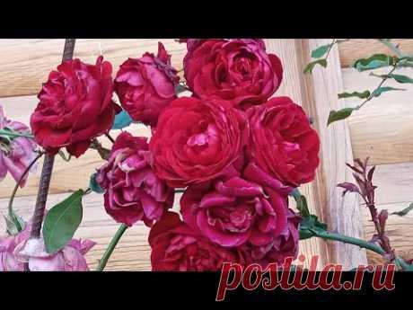 Розы в октябре. Ошибки при обрезке и укрытии. - YouTube