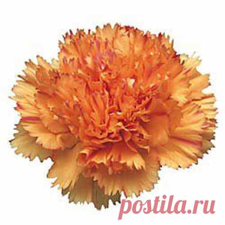 Raggio Di Sole - Гвоздика оранжевая - Гвоздики