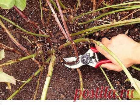 Почему у ремонтантной малины надо вырезать всю надземную часть В последнее время все чаще садоводы отдают предпочтение ремонтантным сортам малины. Эти сорта способны плодоносить все лето до самых заморозков. А если осенью срезать стебли с зелеными ягодами и поставить в ведро, они будут спеть и после морозов.   Тем не менее все чаще садоводы прибегают к полной обрезке побегов перед морозами. Такая обрезка имеет ряд преимуществ. Но давайте все по порядку.  КАК ОТЛИЧИТЬ РЕМОН...