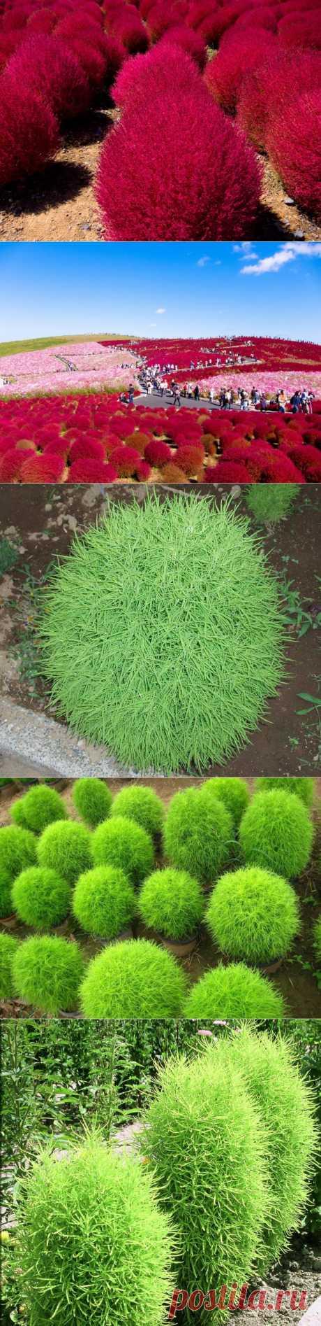 """Кохия, или """"летний кипр"""". Посадка, уход. размножение и виды. Это – очень эффектное, с необычной декоративной листвой растение, любимое мною за оригинальность формы, а также за способность, в зависимости от фантазии, менять эту форму."""