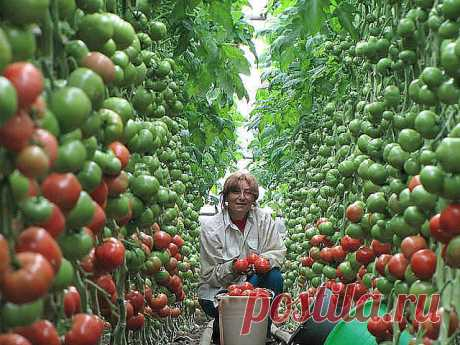 Волшебный бальзам для роста помидоров