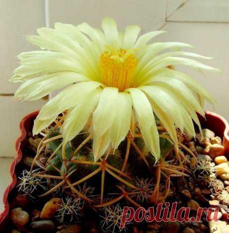 Кактус - форум -> Галерея -> Просмотр изображения -> Coryphantha bumamma