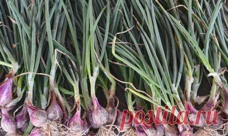 Вершки и корешки. Советы по выращиванию семейного лука и черемши — Полезные советы
