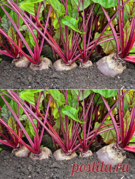 Как угодить свекле — советы опытных огородников