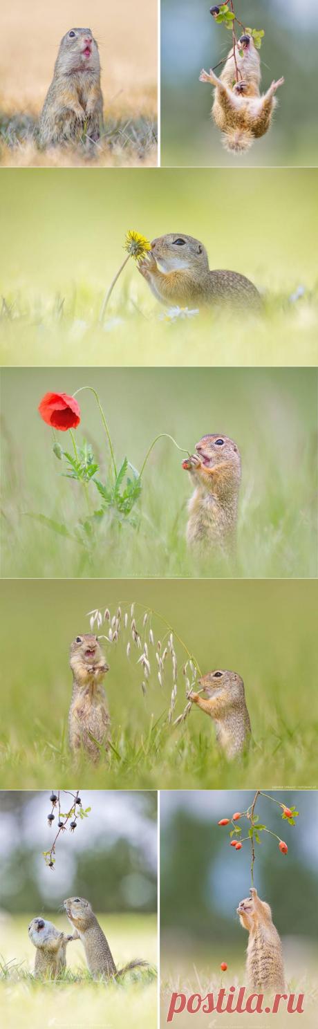 Суслики — самые умилительные создания на Земле! (21 фото)  Хенрик Шпранц — немецкий фотограф, проживающий в Австрии. По профессии Хенрик — разработчик ПО, но его истинная страсть — фотографии природы. Его фотохроника жизни европейских сусликов наверняка вызовет у вас слезы умиления. Кто бы мог подумать, что эти грызуны — настолько очаровательные и эмоциональные существа!