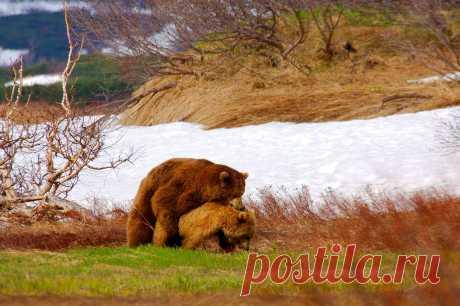 Любовь,любовь  медведей...