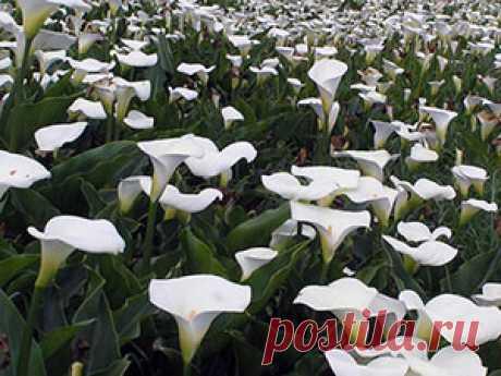 Цветы каллы – посадка и уход, фото каллы, выращивание и хранение; каллы дома и в саду, каллы после цветения
