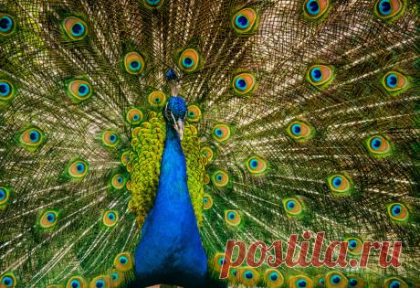 Можно ли сделать бизнес на павлинах? | ЦВЕТАНА | Яндекс Дзен