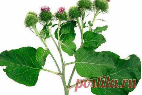 Листья лопуха применение в народной медицине, семена лопуха для суставов