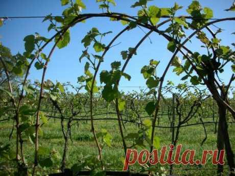 Как стать лучшим виноградарем. Самые актуальные советы по обрезке и формированию виноградной лозы