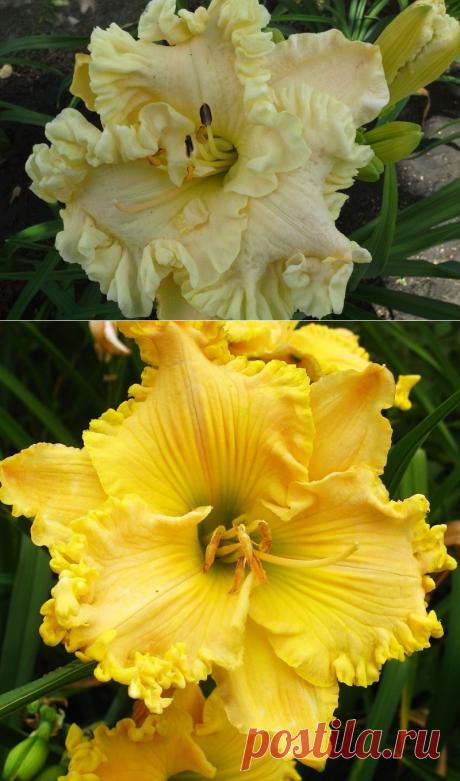 Необычные сорта лилейников, которые украсят цветник
