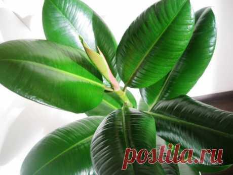 Фикус: знакомство и правильный уход | Жизнь комнатных растений | Яндекс Дзен