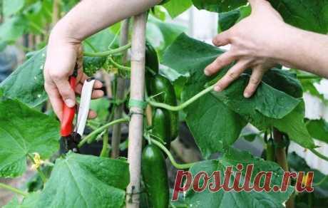 Выращивание огурцов: подрезка листьев, побегов и завязей