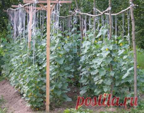 Выращивание огурцов на шпалере в открытом грунте - правила + фото и видео