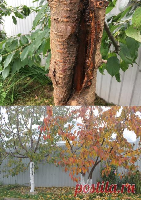 Лопнула кора на дереве (что делать) | Есть время под солнцем | Яндекс Дзен