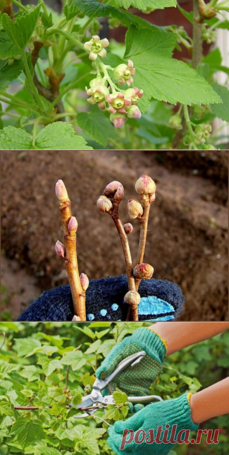 Spraying of currant: terms and technology