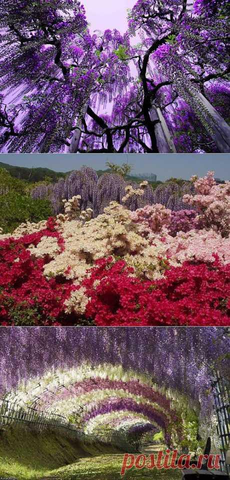 Парк цветов Асикага: LiveInternet