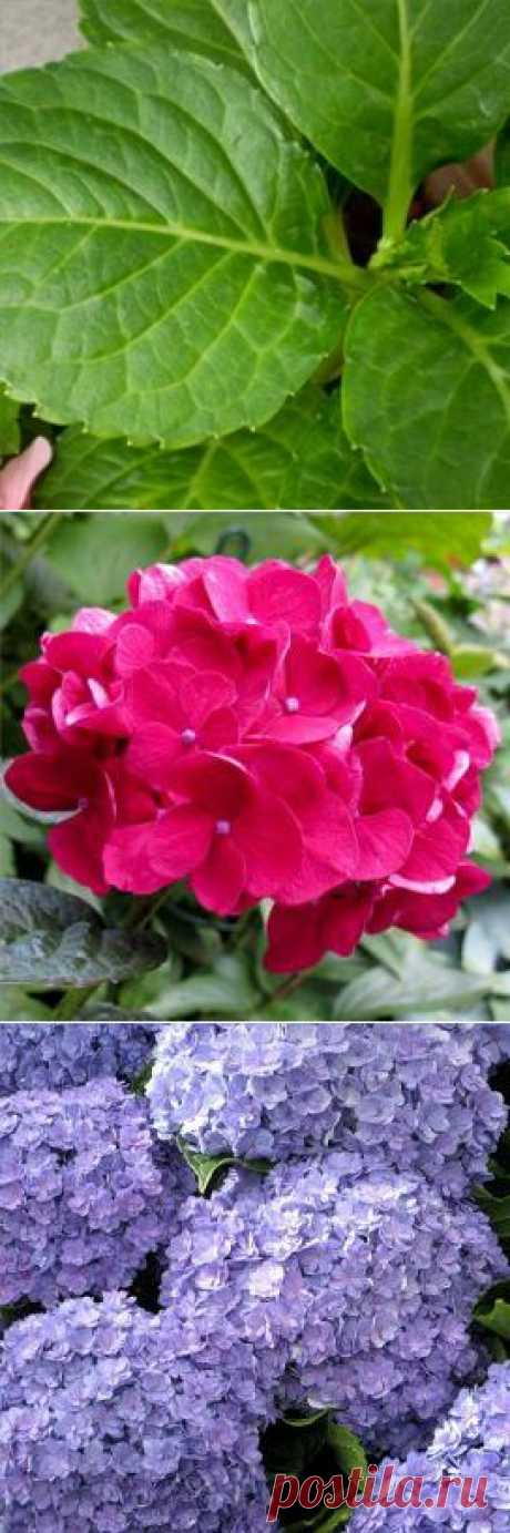 Гортензия крупнолистная: выращивание и уход — FloweryVale.ru