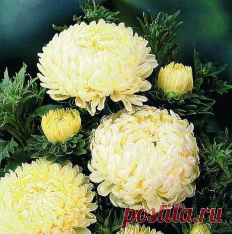 Хризантема - царица осени. Хризантема - последний аккорд в осенней симфонии красок - своей красотой давно покорила весь мир...