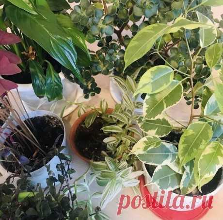 6 простых правил, которые помогут спасти комнатные растения в жару   Цветущий фикус   Яндекс Дзен
