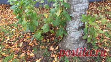 Что такое корневая поросль и зачем ее удалять?   Уход за садом (Огород.ru)