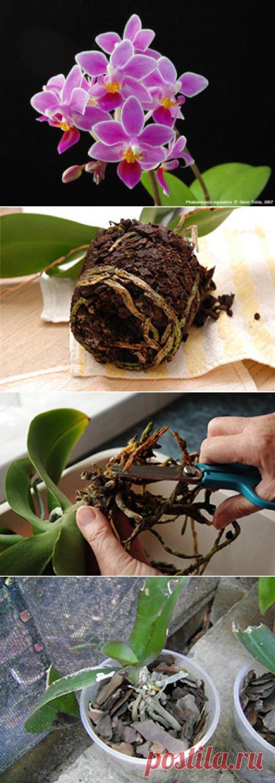 Пересадка орхидеи фаленопсис - делаем правильно