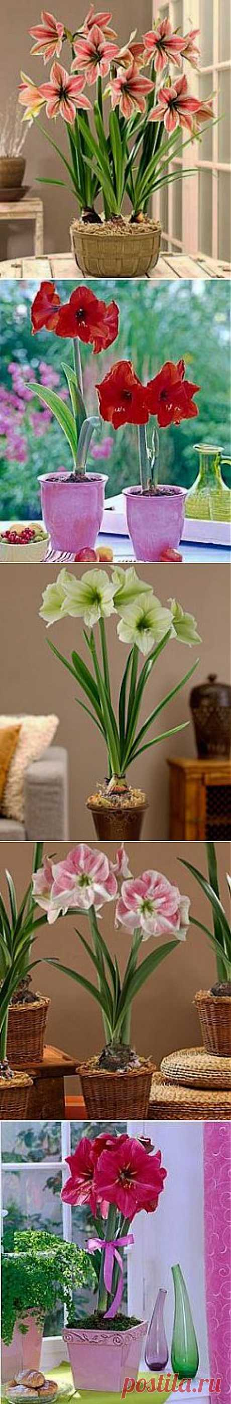 Hippeastrum leaving and cultivation | GreenHome