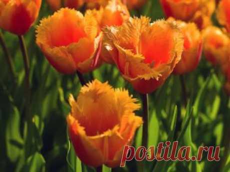 УХОД ЗА ТЮЛЬПАНАМИ ПОСЛЕ ЦВЕТЕНИЯ Сохрани шпаргалку, поделись с одноклассниками!  Каким должен быть уход за тюльпанами после цветения, чтобы новые сорта тюльпанов радовали нас цветением каждую весну? Почему через несколько лет после посадки шикарных сортовых тюльпанов: махровых, бахромчатых, попугайных, лилиецветных, мы их перестаём видеть на своих дачах? Куда пропадают тюльпаны? Чтобы понять это, надо знать одну интересную особенность большинства луковичных цветов: Когда вокруг родительской