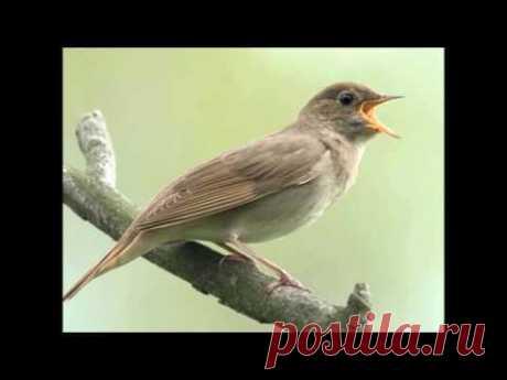Пение соловья в лесу - пение соловья для сна - для реабилитации